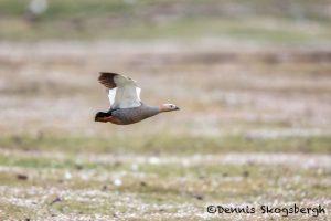 6041 Female Upland Goose (Chloeohaga picta), Bleaker Island, Falklands