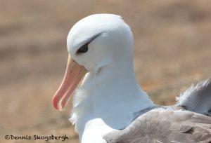 6046 Black-browed Albatross (Thalassarch melanophris), Saunders Island, Falklands