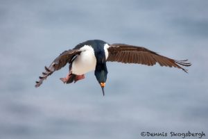 6051 Falkland Imperial Shag (Cormorant) (Phalacricorax atriceps), Sea Lion Island, Falklands