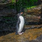 6052 Rockhopper Penguin Showering Under Small Waterfall, Saunders Island, Falklands