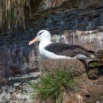 6053 Nesting Black-browed Albatross (Thalassarche melanophris), Saunders Island, Falklands