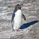 6055 Rockhopper Penguin (Eupytes chrysocome), Saunders Island, Falklands
