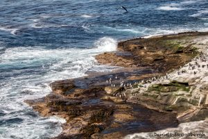 6056 Rockhopper Penguins, Rocky Coastal Shoreline of Saunders Island, Falklands