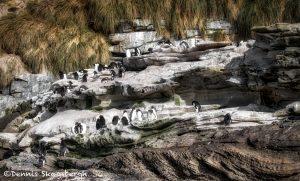 6058 Rockhopper Penguins Rocky Coastline of Saunders Island, Falklands