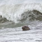 6062 Elephant Seal (Mirounga leonina), Sea Lion Island, Falklands