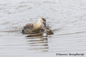 6064 Territorial Squabble, Crested Ducks, Sea Lion Island, Falklands