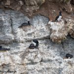 6067 Nesting Rock Shags (Phalacrocorax magellanicus), Bleaker Island, Falklands