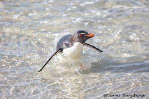 6092 Rockhopper Penguin, Saunders Island, Falklands