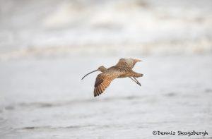 6093 Long-billed Curlew (Numenius americanus), Bolivar Peninsula, Texas