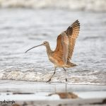 6094 Long-billed Curlew (Numenius americanus), Bolivar Peninsula, Texas