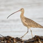 6095 Long-billed Curlew (Numenius americanus), Bolivar Peninsula, Texas