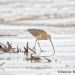 Long-billed Curlew (Numenius americanus), Bolivar Peninsula, Texas