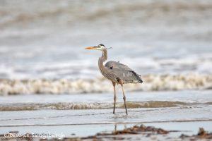 6097 Great Blue Heron (Ardea herodias), Bolivar Peninsula, Texas