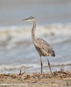 6098 Young Great-Blue Heron (Ardea herodias), Bolivar Peninsula, Texas
