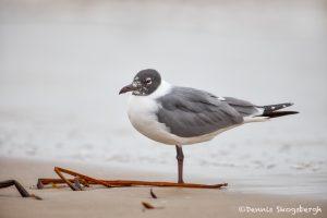 6099 Franklin's Gull (Leucophaeus pipixcan), Bolivar Peninsula, Texas