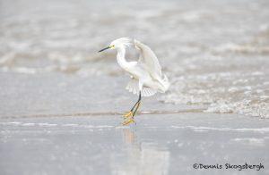 6101 Snowy Egret (Egretta thula), Bolivar Peninsula, Texas