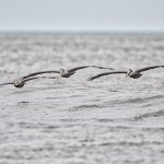 6103 Brown Pelicans (Pelecanus occidentalis), Bolivar Peninsula, Texas