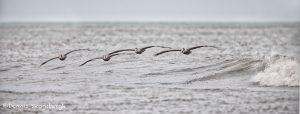 6103 Brown Pelicans (Pelecanus occidentalis), Bolivar Peninsula, Texas