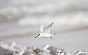 6107 Forester's Tern (Sterna forsteri), Bolivar Peninsula, Texas