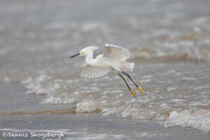 6108 Snowy Egret (Egretta thula), Bolivar Peninsula, Texas