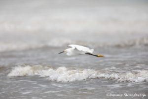 6109 Snowy Egret (Egretta thula), Bolivar Peninsula, Texas
