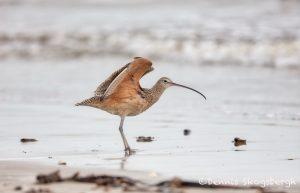 6123 Long-billed Curlew (Numenius americanus), Bolivar Peninsula, Texas