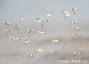 6125 Flock of Sanderlings (Calidris alba), Bolivar Peninsula, Texas