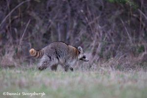 6212 Raccoon (Procyon lotor), Hagerman NWR, Sherman, Texas