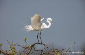 6217 Breeding Plumage, Great Egret (Ardea alba), Smith Oak Rookery, High Island, Texas