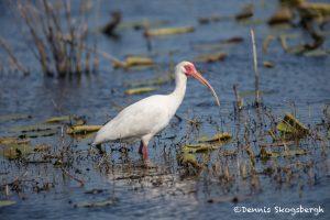6225 Breeding White Ibis (Eudocimus albus), Anahuac NWR, Texas