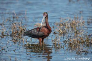 6227 Breeding Glossy Ibis (Plegadis falcinellus), Anahuac NWR, Texas