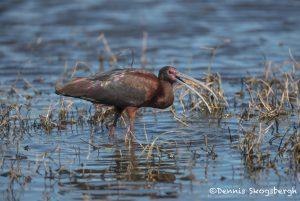 6228 Breeding Glossy Ibis (Plegadis falcinellus), Anahuac NWR, Texas