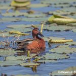 6231 Cinnamon Teal (Anas cyanoptera), Anahuac NWR, Texas