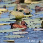 6232 Cinnamon Teal (Anas cyanoptera), Anahuac NWR, Texas