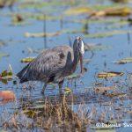 6233 Great Blue Heron (Ardea herodias), Anahuac NWR, Texas