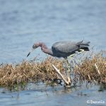 6235 Little Blue Heron (Egretta caerulea), Anahuac NWR, Texas