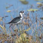 6243 Black-necked Stilt (Himantopus mexicanus), Anahuac NWR, Texas