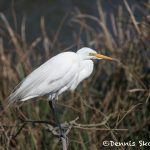 6245 Breeding Plumage, Great Egret (Ardea alba), Smith Oak Rookery, High Island, Texas