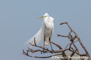 6248 Great Egret (Ardea alba), Smith Oak Rookery, High Island, Texas