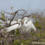 6250 Great Egret (Ardea alba) Mating Ritual, Smith Oak Rookery, High Island, Texas