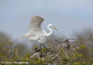 6251 Great Egret (Ardea alba), Smith Oak Rookery, High Island, Texas