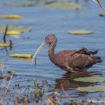 6258 Breeding Glossy Ibis (Plegadis falcinellus), Anahuac NWR, Texas