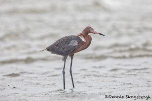 6329 Reddish Egret (Egretta rufescens), Galveston Island, Texas
