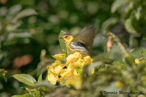 6332 Male Cape May Warbler (Setophaga tigrina), Galveston Island, Texas