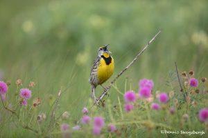 6635 Singing Eastern Meadowlark (Sturnella magna), Galveston Island, Texas