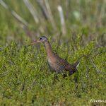 6636 Clapper Rail (Rallus longirostris), Bolivar Peninsula, Texas