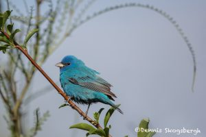 6637 Male, Indigo Bunting (Passerina cyanea), Galveston Island, Texas