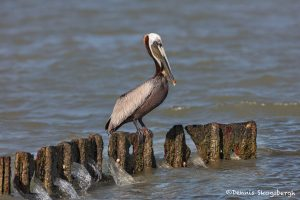 6638 Brown Pelican (Pelecanus occidentalis), Galveston Island, Texas