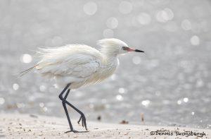 6639 White Morph Reddish Egret (Egretta rufescens), Galveston Island, Texas