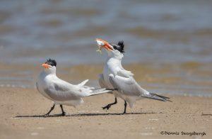 6642 Courtship Ritual, Royal Terns, Bolivar Peninsula, Texas